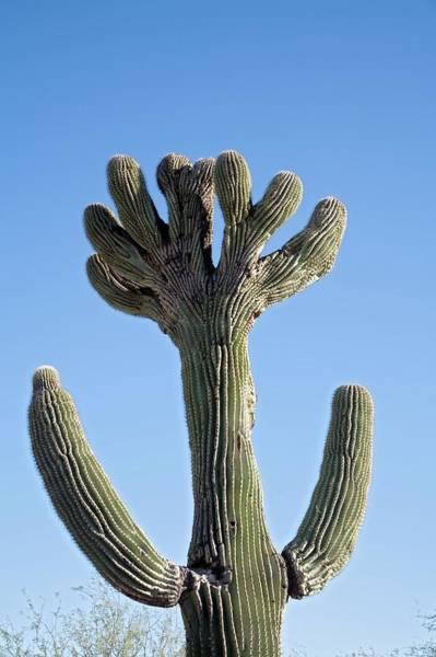 Adapted Photograph - Crested Saguaro Cactus by Jim West