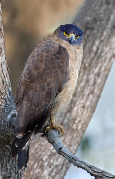 Serpent Photograph - Crested Serpent Eagle Spilornis Cheela by Panoramic Images
