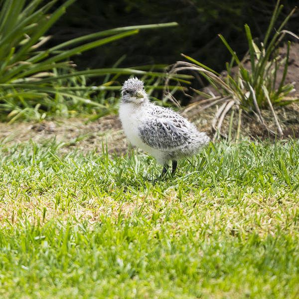 Photograph - Crested Tern Chick - Montague Island - Australia by Steven Ralser