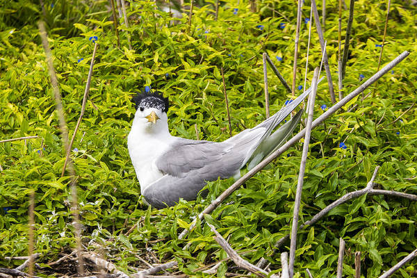 Photograph - Crested Tern by Steven Ralser