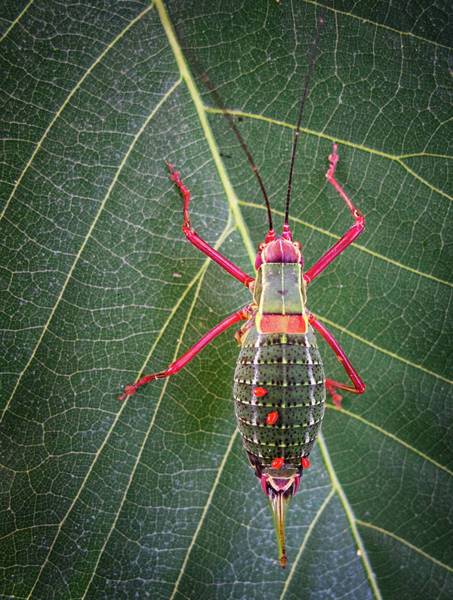 Insect Photograph - Cricket by Beppeverge