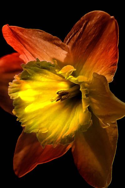 Black Narcissus Photograph - Crimson Daffodil by Bill Tiepelman