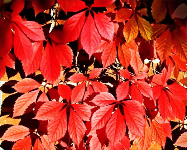 Photograph - Crimson Virginia Creeper 2 by Danielle  Parent