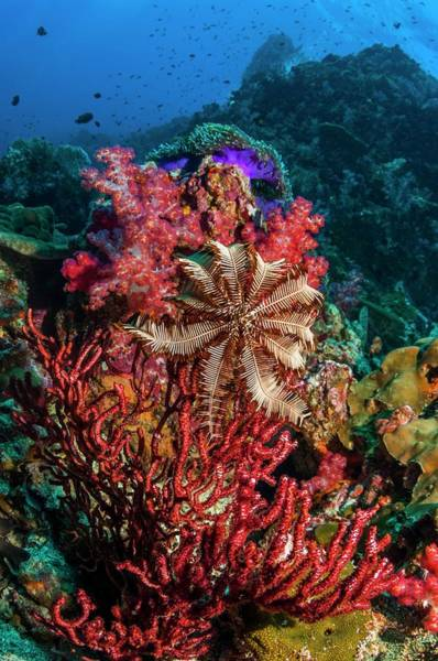 Feather Stars Wall Art - Photograph - Crinoid On A Gorgonian by Georgette Douwma/science Photo Library