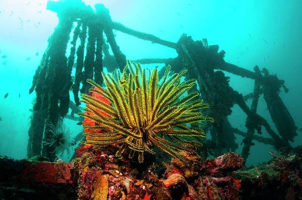 Feather Stars Photograph - Crinoid On An Artificial Reef by Georgette Douwma/science Photo Library