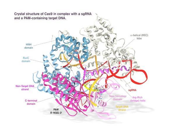 Quaternary Photograph - Crispr-cas9 Gene Editing Complex by Ramon Andrade 3dciencia