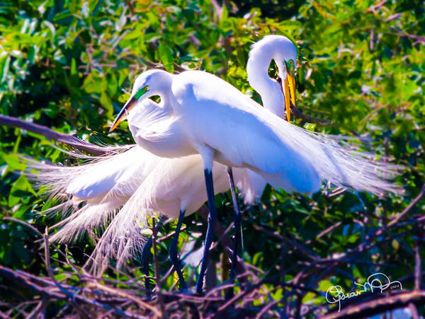Criss-cross Egrets Art Print