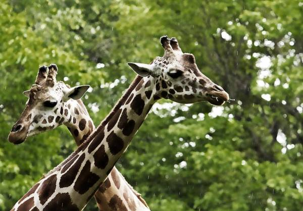 Photograph - Crisscrossed Giraffes by Alice Gipson