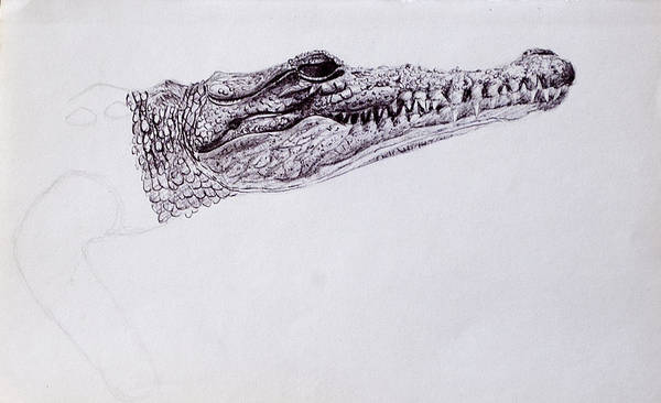 Drawing - Croc Sketch by Wade Clark