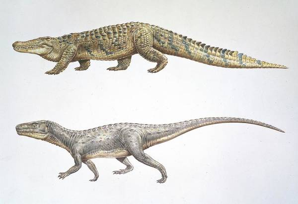 Comparative Wall Art - Photograph - Crocodile And Euparkeria by Natural History Museum, London/science Photo Library