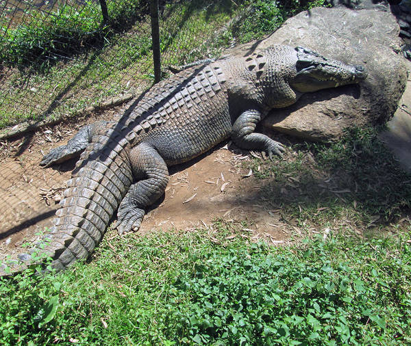 Photograph - Crocodile by Tony Mathews