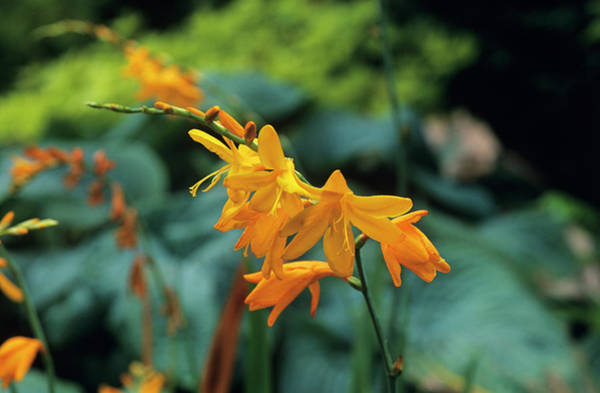 Wall Art - Photograph - Crocosmia 'voyager' Flowers by Tony Wood/science Photo Library