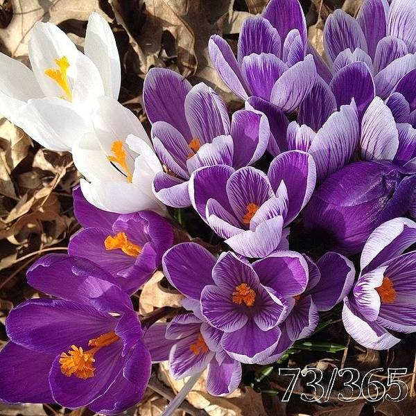 Wall Art - Photograph - Crocus Explosion! #nofilter #phonto by Teresa Mucha