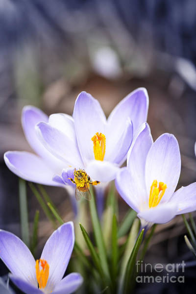 Wall Art - Photograph - Crocus Flowers And Bee by Elena Elisseeva