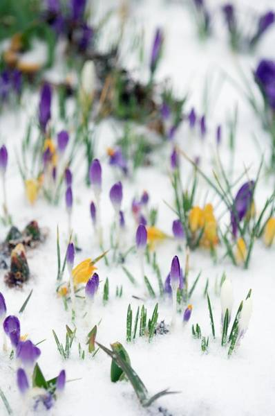 Unopened Wall Art - Photograph - Crocus Flowers In Snow by Maria Mosolova/science Photo Library