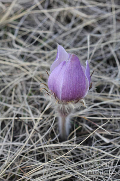 Photograph - Crocus Profile by Donna L Munro