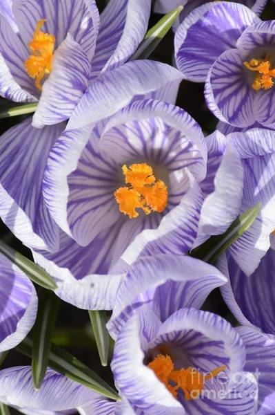 Photograph - Crocus by Randy Bodkins