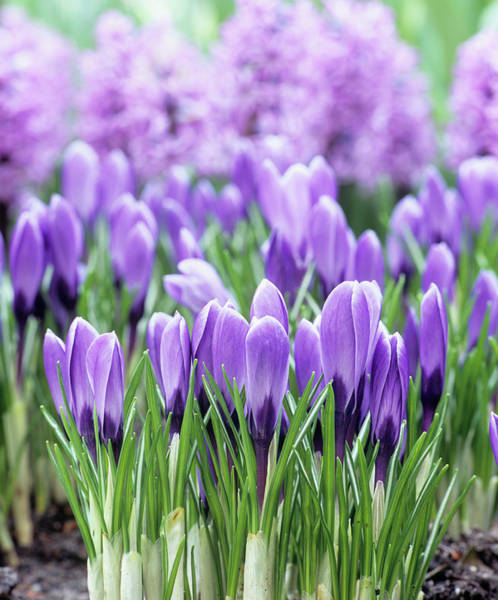 Remembrance Photograph - Crocus 'remembrance' Flowers by Andrew Cowin/science Photo Library
