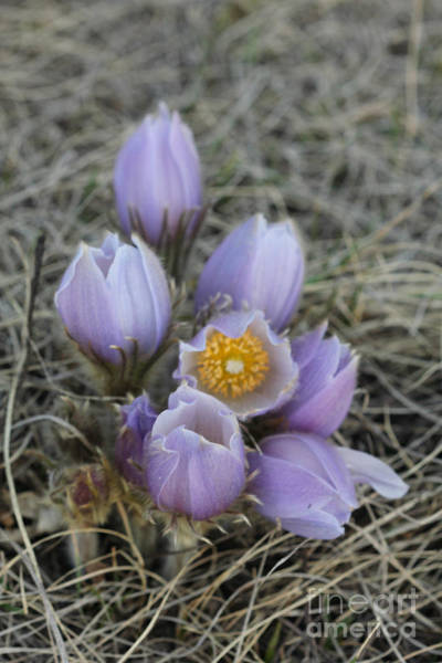 Photograph - Crocus Set 2 by Donna L Munro