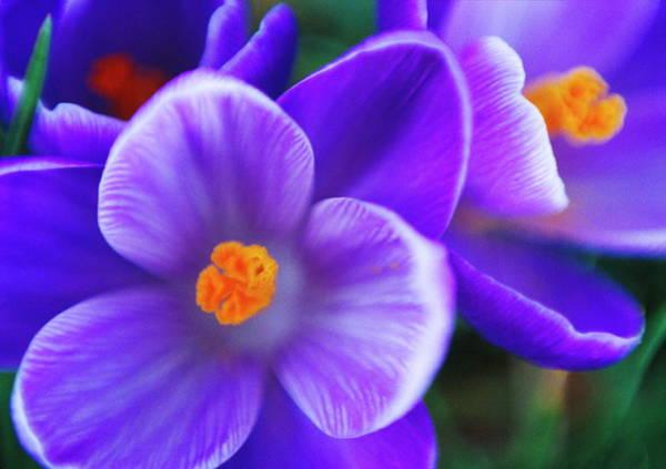 Remembrance Photograph - Crocus Vernus 'remembrance' Flowers by Rachel Warne/science Photo Library