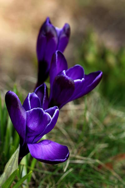 Spring Awakening Photograph - Crocuses by Heike Hultsch