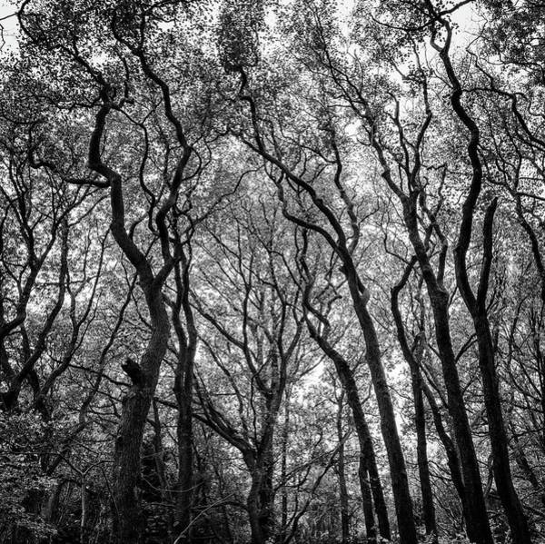 Hardwood Photograph - Crooked Trees by Martin Wahlborg