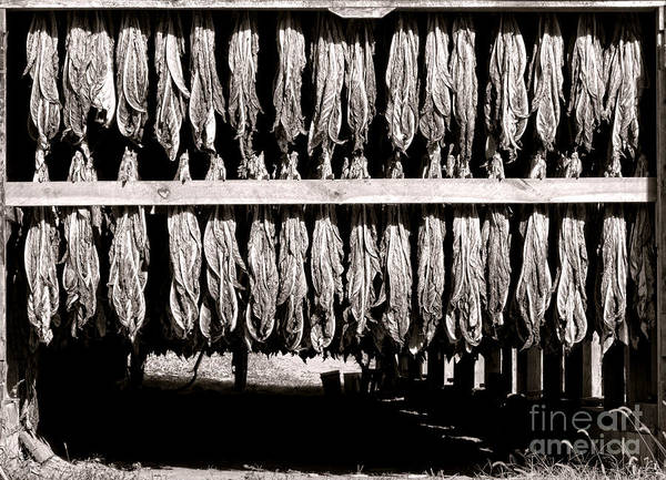 Tobacco Wall Art - Photograph - Crop by Olivier Le Queinec