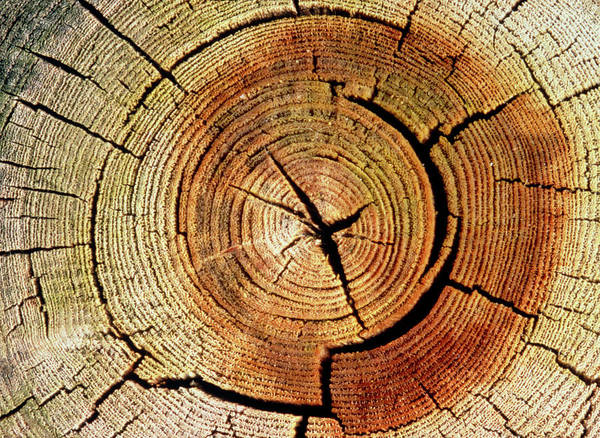 Wall Art - Photograph - Cross Sections Of An Elm Trunk by Adam Hart-davis/science Photo Library