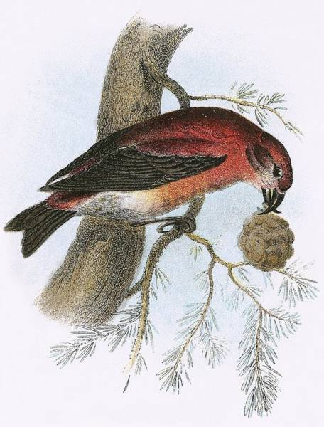 Wall Art - Painting - Crossbill by English School