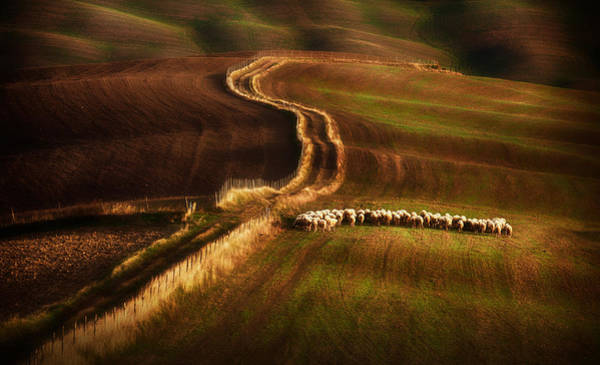 Herd Photograph - Crossing The Fields by