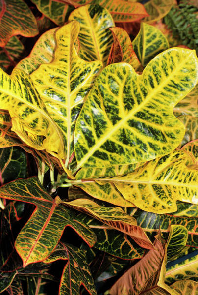 Excellent Wall Art - Photograph - Croton Leaves by M F Merlet/science Photo Library
