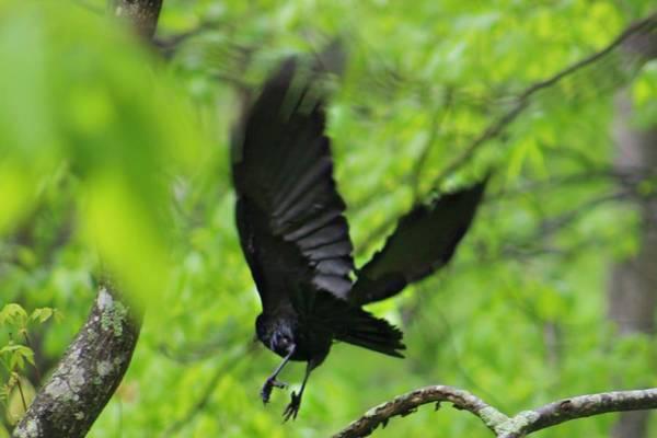 Photograph - Crow by Candice Trimble