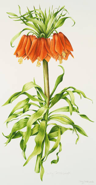 Crown Imperial Painting - Crown Imperial Fritillary by Sally Crosthwaite