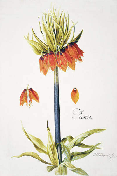 Fritillaria Photograph - Crown Imperial by Natural History Museum, London/science Photo Library