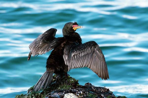 Cormorant Wall Art - Photograph - Crowned Cormorant Stretching Its Wings by Peter Chadwick/science Photo Library