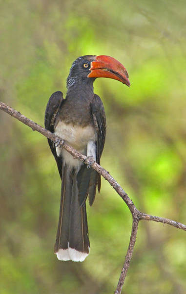 Hornbill Photograph - Crowned Hornbill Perching On A Branch by Panoramic Images