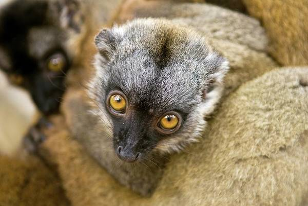 Lemur Photograph - Crowned Lemur by Philippe Psaila/science Photo Library