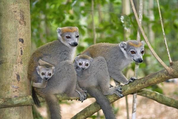 Lemurs Photograph - Crowned Lemurs by Philippe Psaila/science Photo Library