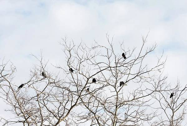 Bird In Tree Photograph - Crows Perched On Tree Branches In by Kathrynhatashitalee