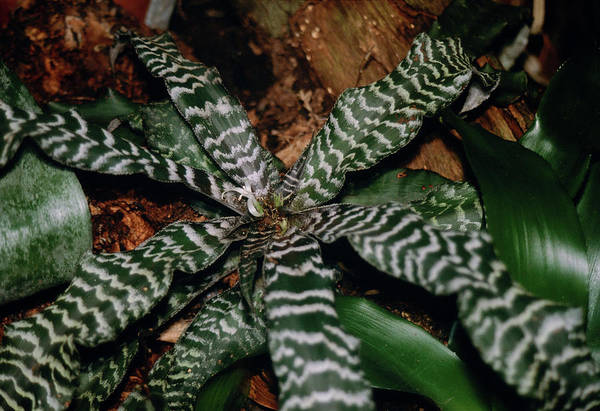 Bromeliad Photograph - Cryptanthus Fosterianus Leaves by Dan Sams/science Photo Library