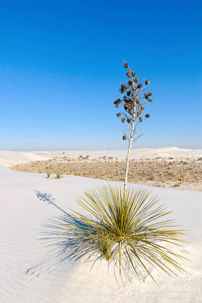 Yucca Elata Wall Art - Photograph - Crystal Dune Tree At White Sands National Monument In New Mexico. by Jamie Pham