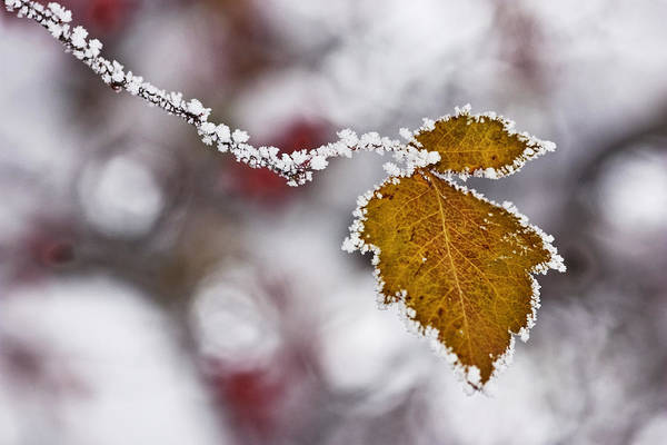Ice Crystals Photograph - Crystal Leaves by Mark Kiver
