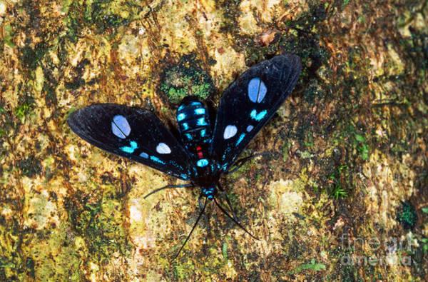 Pterygota Wall Art - Photograph - Ctenuchid Moth by Gregory G. Dimijian, M.D.