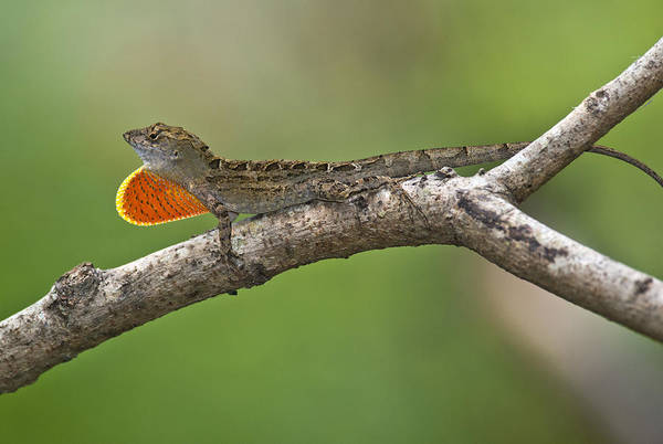 Brown Anole Wall Art - Photograph - Cuban Anole by Anthony Mercieca