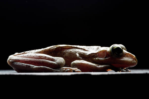 Introduced Species Photograph - Cuban Tree Frog Osteopilus by Aaron Ansarov