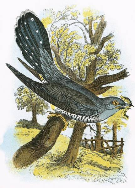 Ornithology Photograph - Cuckoo by English School