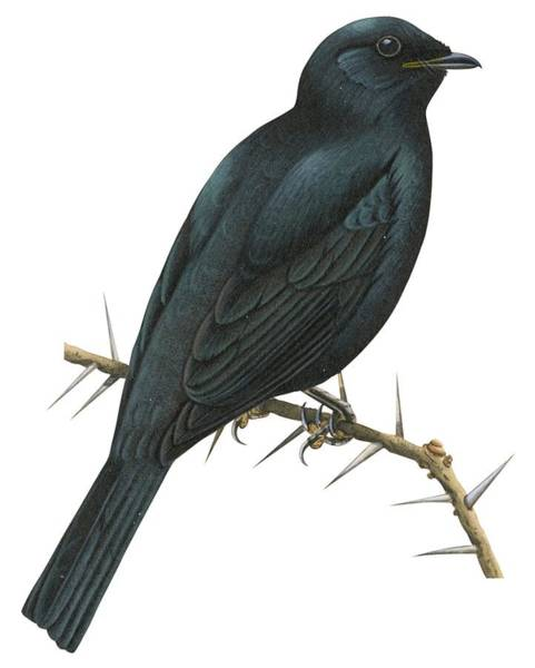 Full Length Drawing - Cuckoo Shrike by Anonymous
