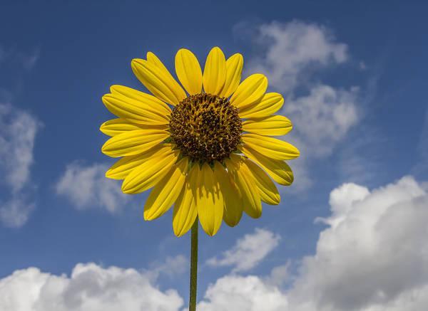 Photograph - Cucumberleaf Sunflower by Steven Schwartzman