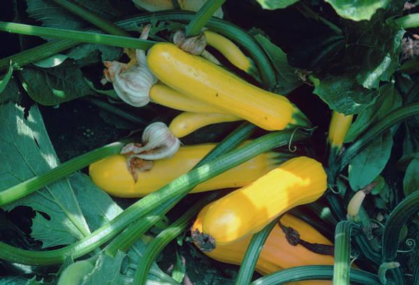 Cucurbita Wall Art - Photograph - Cucurbita Golden Zucchini. by G A Matthews/science Photo Library