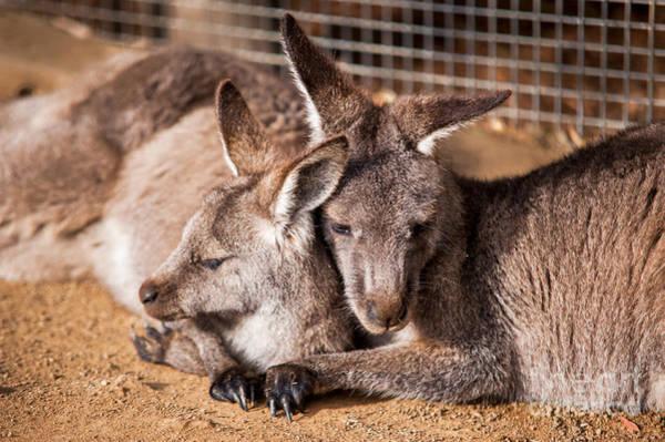 Photograph - Cuddling Kangaroos by Ray Warren